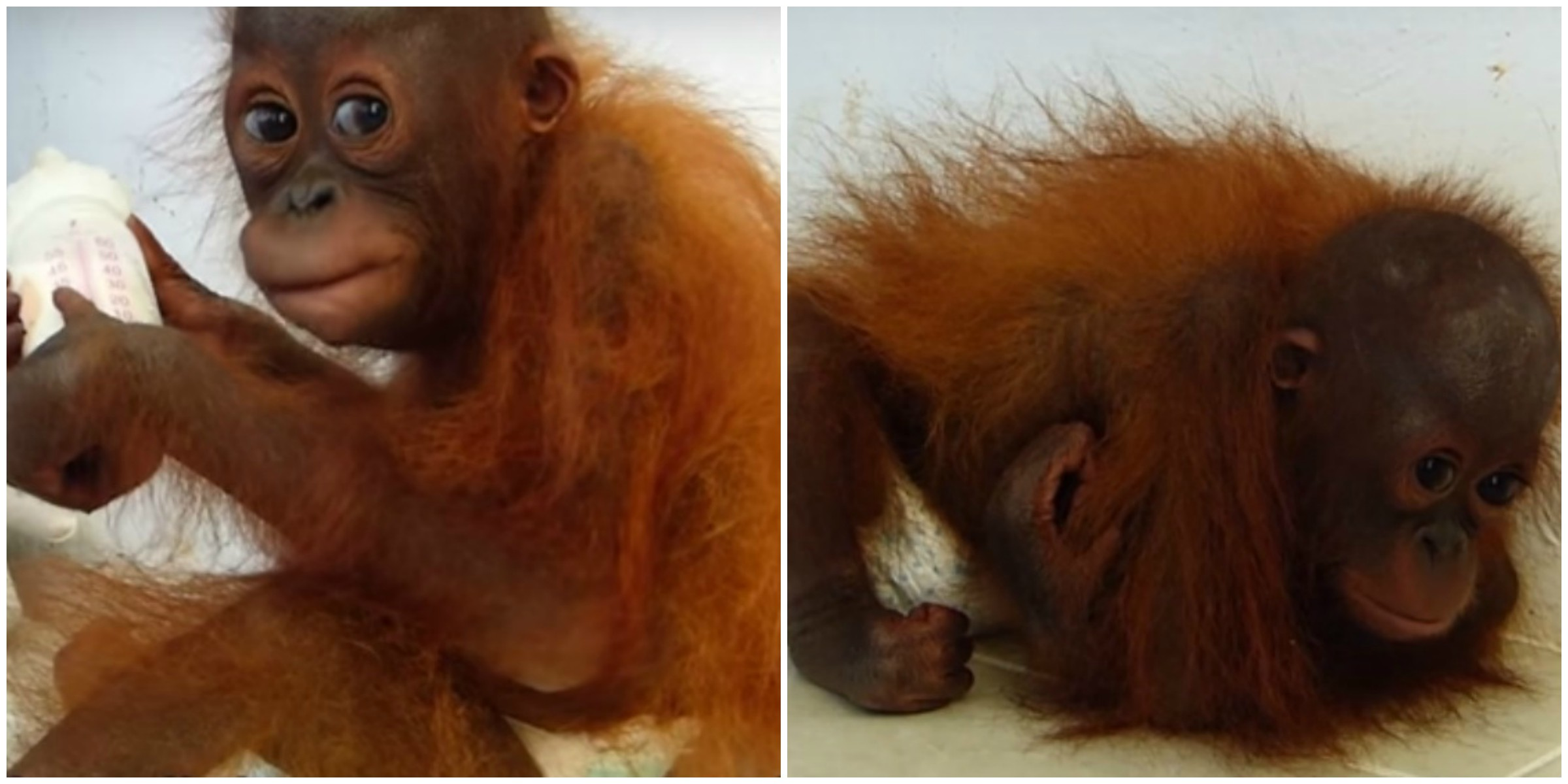 Orphan Orangutan Hugs Self To Feel Mother's Love