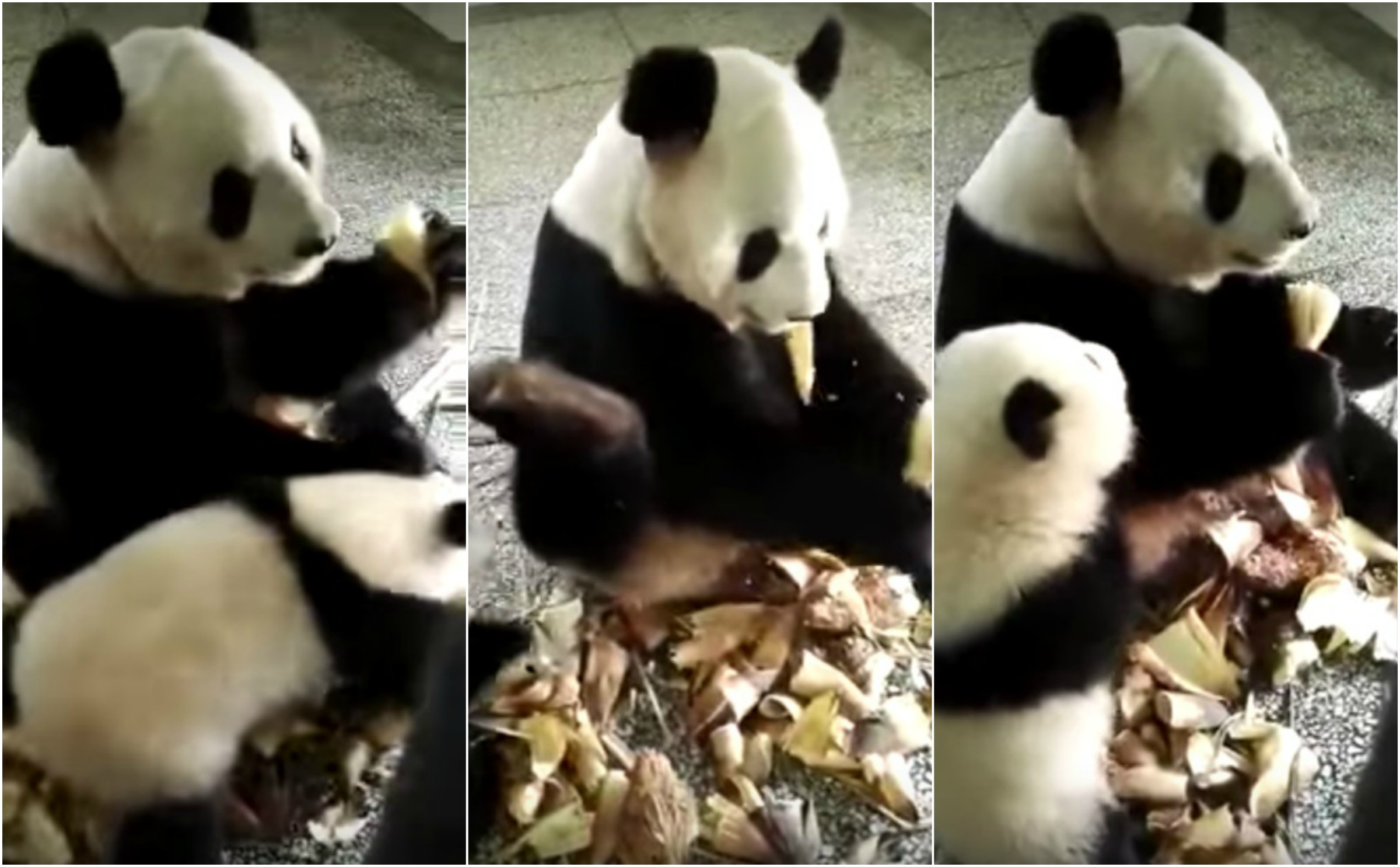 This Panda WILL NOT Share His Food, Period!!