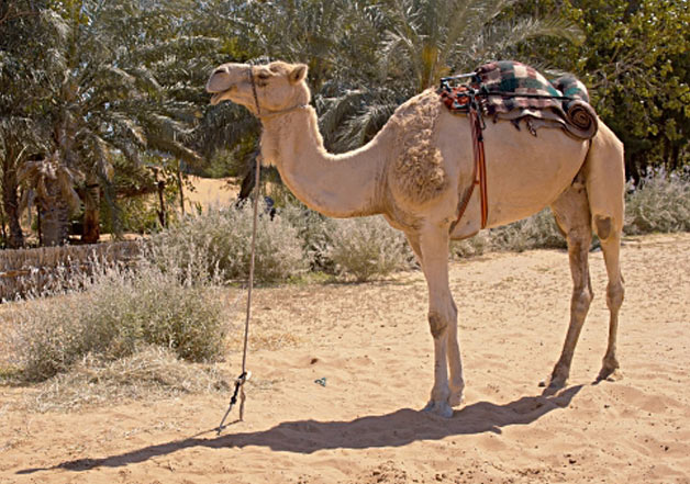 Owner Ties Camel In Heat For Entire Day, Frustrated Animal Takes Revenge By Killing Him