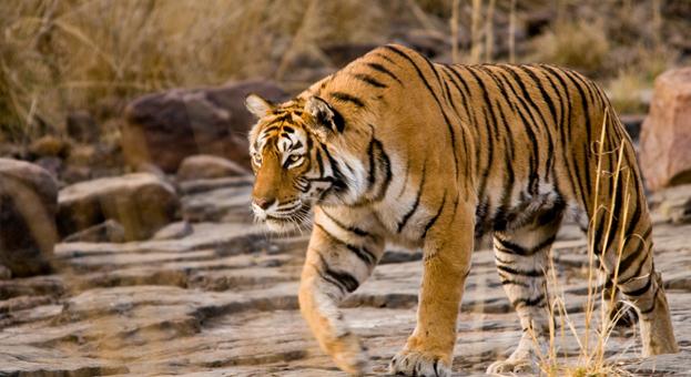 Ranthambore's 'Machli' turns 20. Meet India's popular, ferocious tigress