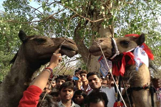 7000 people bless couple as Camels married off in a gala ceremony