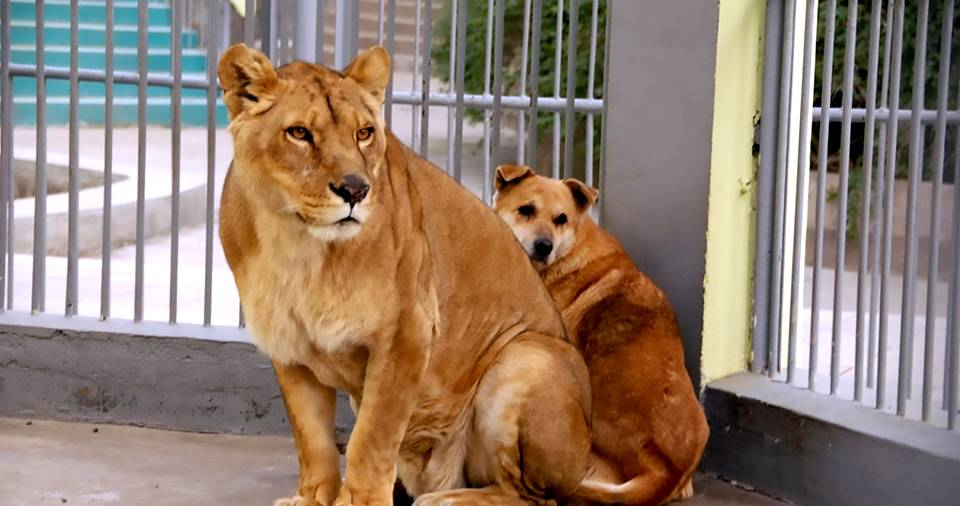 Troubled by The Owner, This Dog Finds Shelter In A Lion's Cage